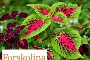 ¿Qué es la Forskolina?